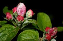 Apfelblüte 1