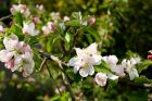 Apfelblüte 5
